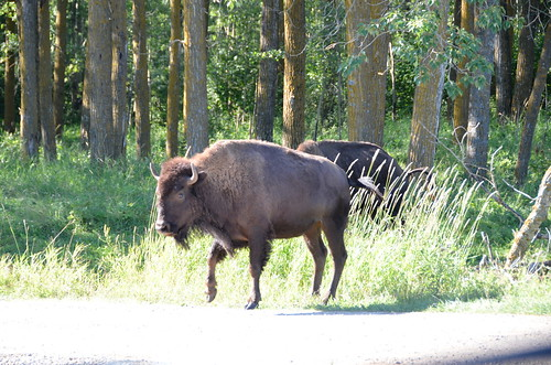 Elk Island Bison blocking road