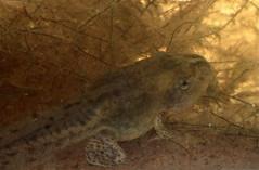 Western Spadefoot Toad (Pelobates cultripes) tadpole