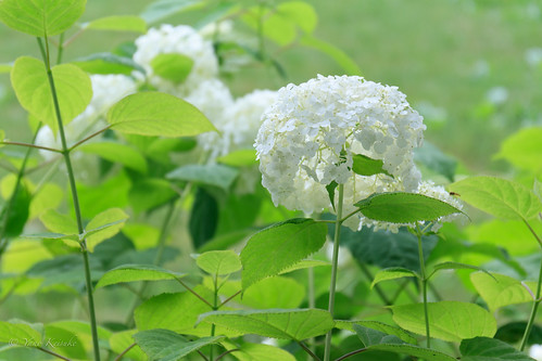 hydrangea 紫陽花 flower 花 garden 庭園 obihiro 帯広 hokkaido 北海道 japan 日本 manabegarden 真鍋庭園