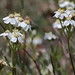Small photo of Achillea erba-rotta ssp moschata (Musk Milfoil)