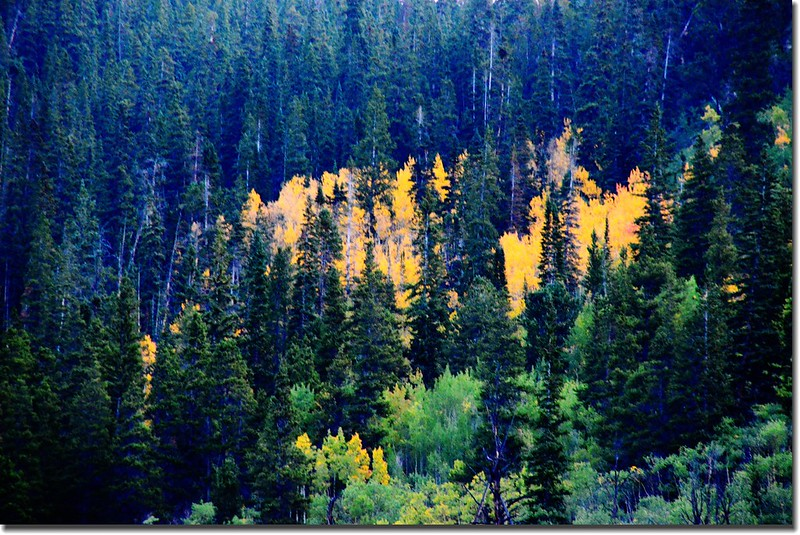Aspen along the trail, and leaves are turning yellow  (1)
