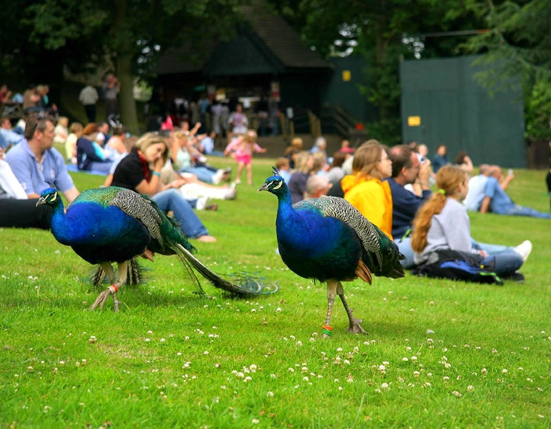 Peacocks at Warwick Castle. Credit Paul Reynolds, flickr