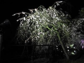 千葉公園綿打池 夜桜ライトアップ14