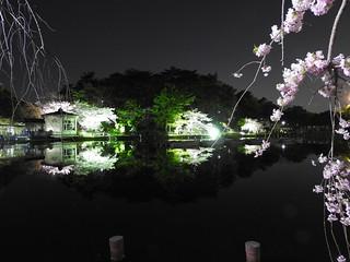 千葉公園綿打池 夜桜ライトアップ16