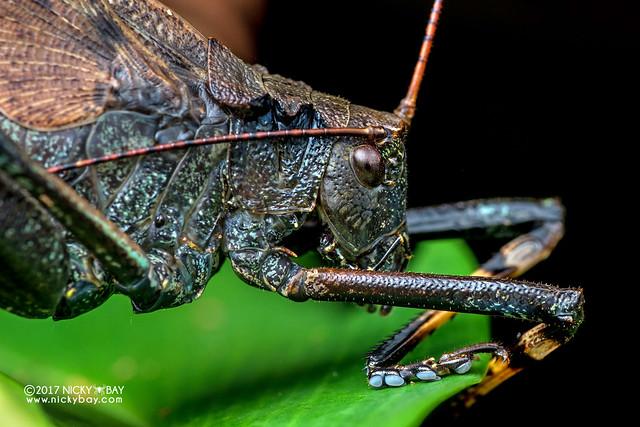 Katydid (Tettigoniidae) - DSC_8909