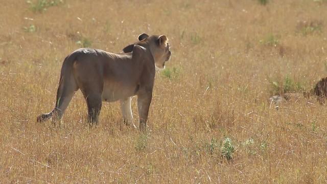 Lion Mom standing