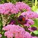 2017 Germany // Unser Garten - Our garden // im September // Sedum by maerzbecher-Deutschland zu Fuss