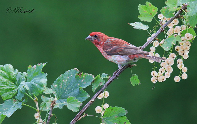 *** Roselin pourpré  / Purple finch haemorhous purpureus