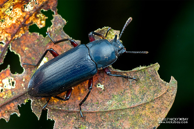 Horned blue darkling beetle (Toxicum sp.) - DSC_9037