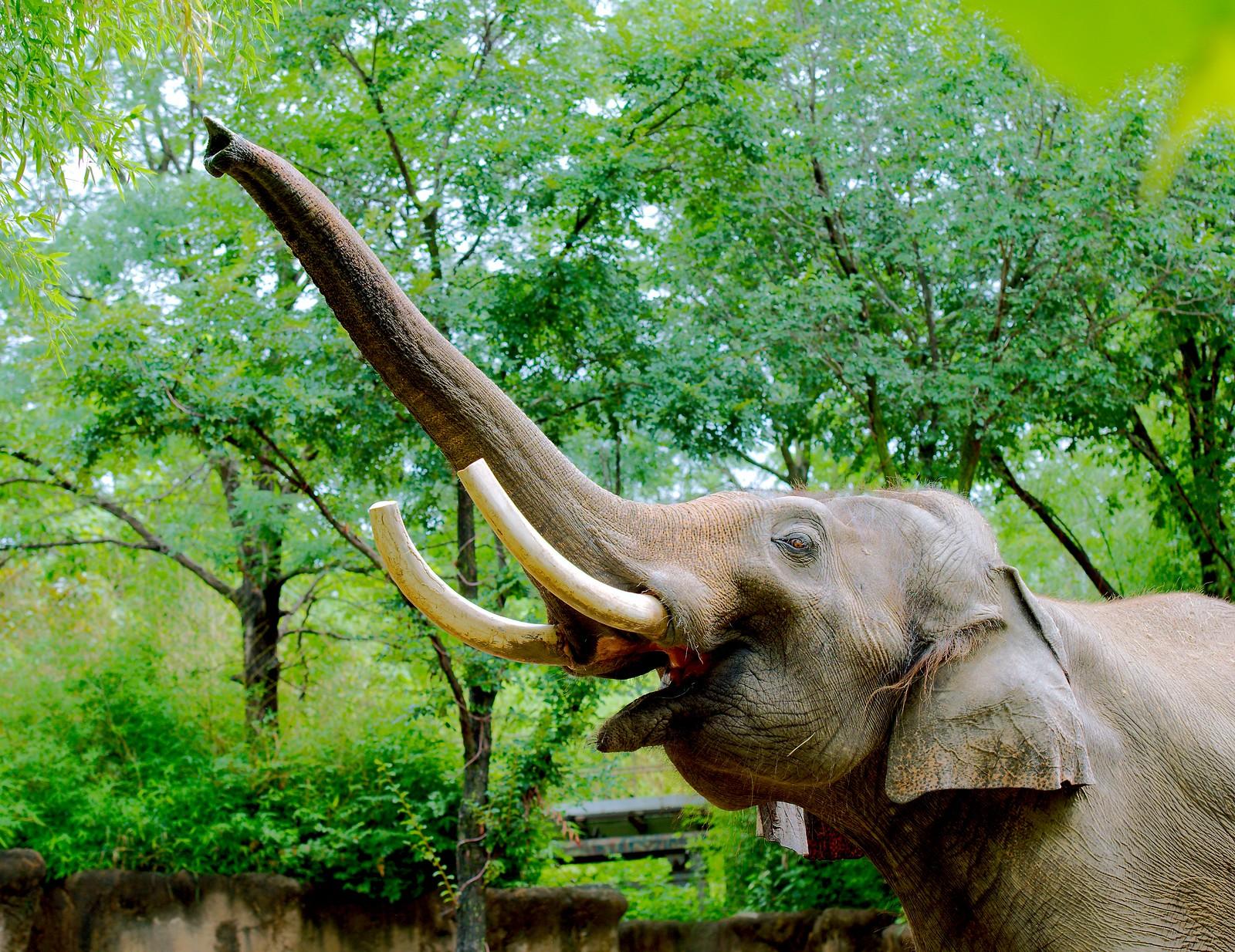 Asian Elephant_13