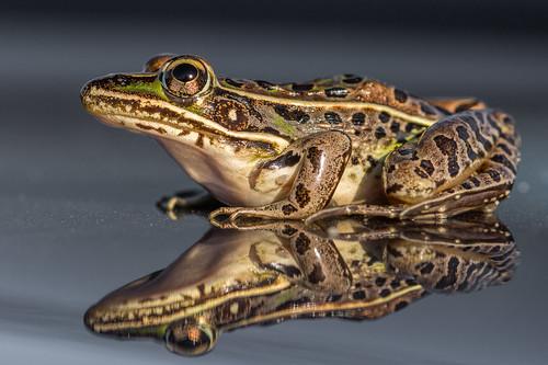 whitesbogs southernleopardfrog macro nature amphibian frog wildlife portrait closeup pinebarrens spots pembertontownship newjersey unitedstates us nikon d7200