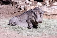 Warthog (Phacochoreus africanus)(Female)