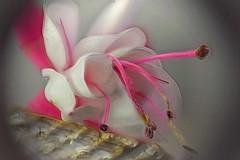 Abstract Fuchsia