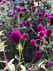 Globe amaranths, 9/09/17