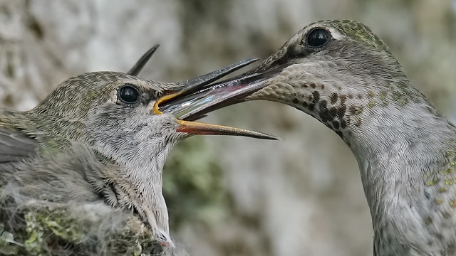 Feeding Young Hummingbirds, Sony ILCA-99M2, Sony 500mm F4 G SSM (SAL500F40G)