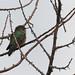Broad-tailed Hummingbird (female)   Rd to Barfoot   Chiricahuas   Portal   AZ 2017-08-11 13-12-09.jpg