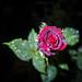 Rose Josephine Bruce