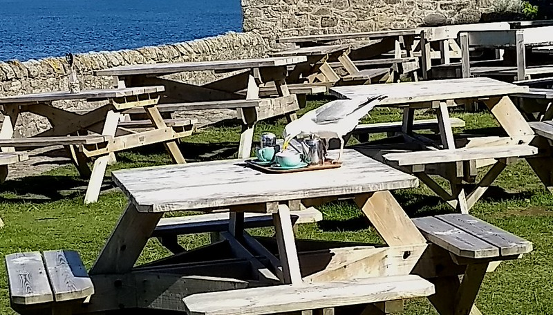 Seagull has afternoon tea, Cornwall