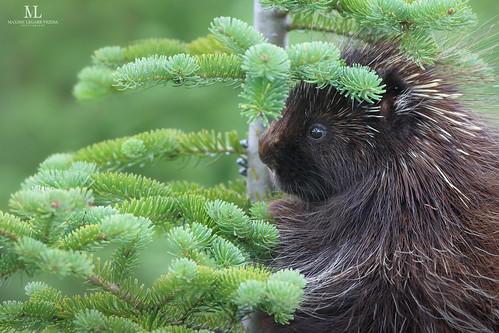 American porcupine - Porc-épic d'Amérique - Erethizon dorsatum