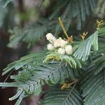 Acacia mearnsii leaf and flowers