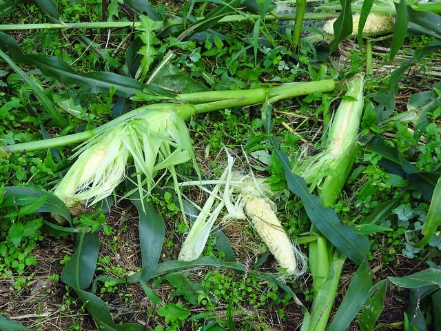 若くても食われたトウモロコシDSC03893