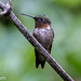Male Rubythroated Hummingbird
