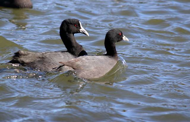 Eurasian Coots, Canon EOS 7D MARK II, Canon EF-S 55-250mm f/4-5.6 IS II