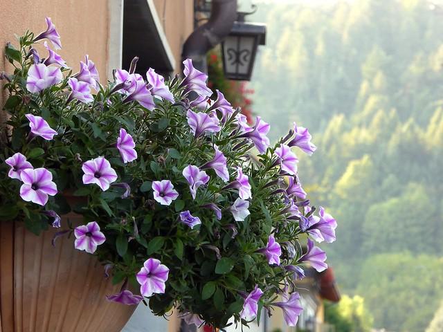 Calizzano invasa dai fiori