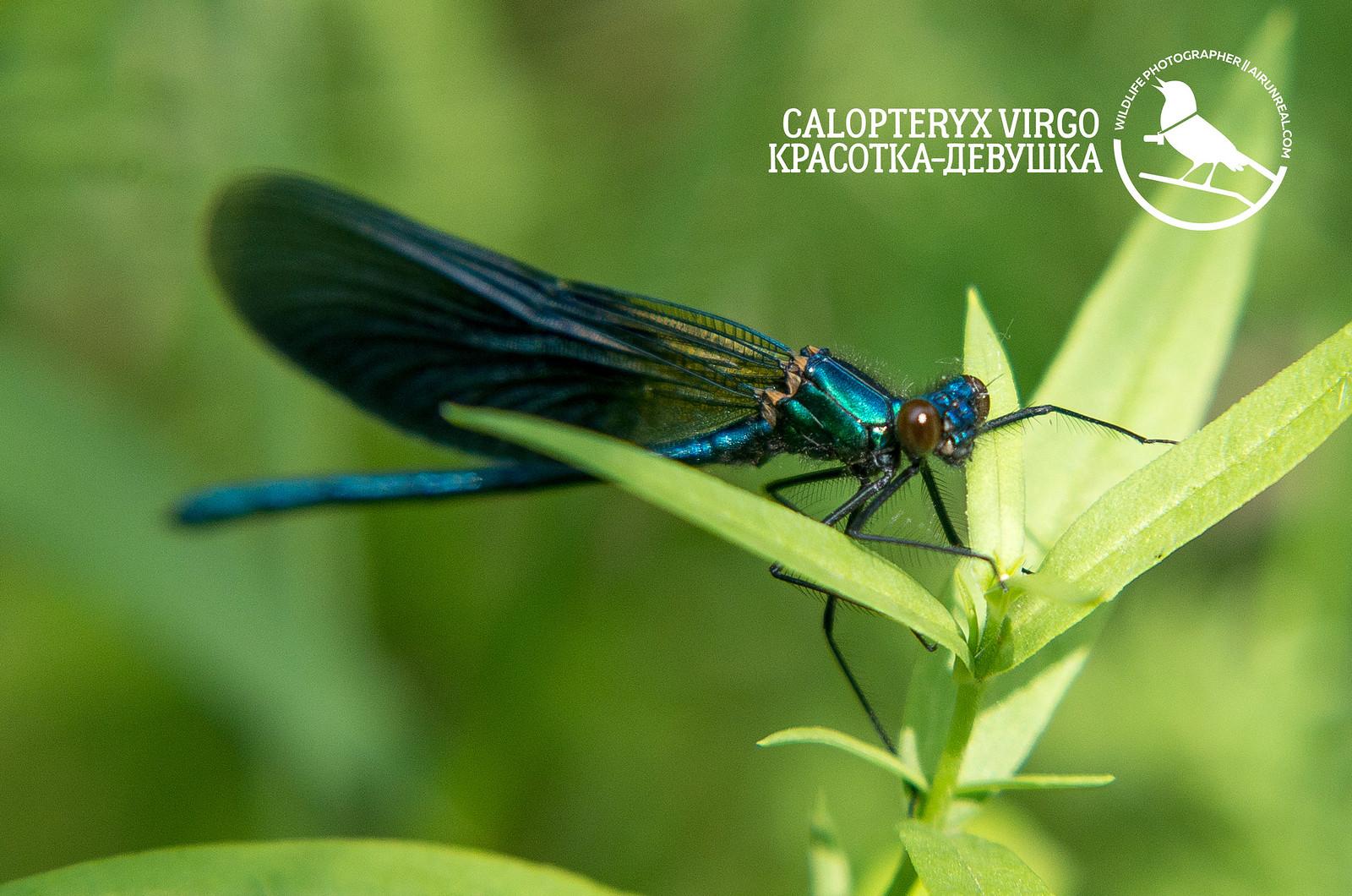 Calopteryx virgo // 20170828