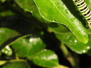 キアゲハの幼虫2-1