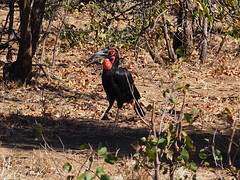 Southern ground hornbill at Kruger National Park