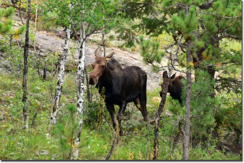 Moose (8)