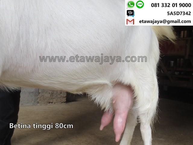 betina-80cm-perah-14-20170910