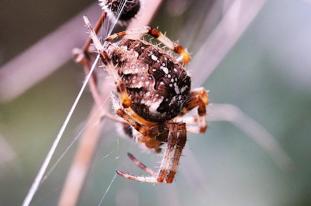 Araneus diadematus (upperside), Nikon D5000, Sigma Macro 105mm F2.8 EX DG