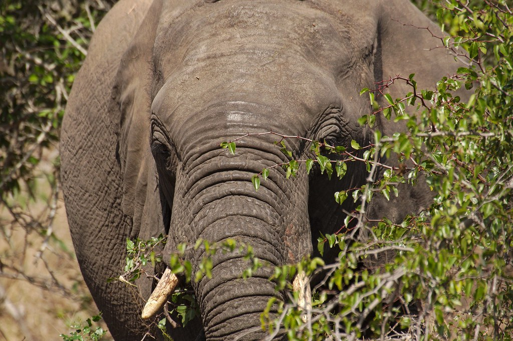 Elephant hiding behind the bush