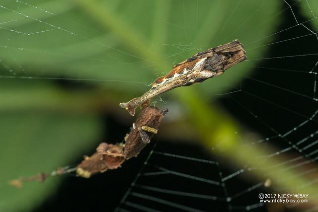 Scorpion-tailed spider (Arachnura sp.) - DSC_9108