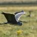 Grey Heron Marshside RSPB D210bob DSC_6042