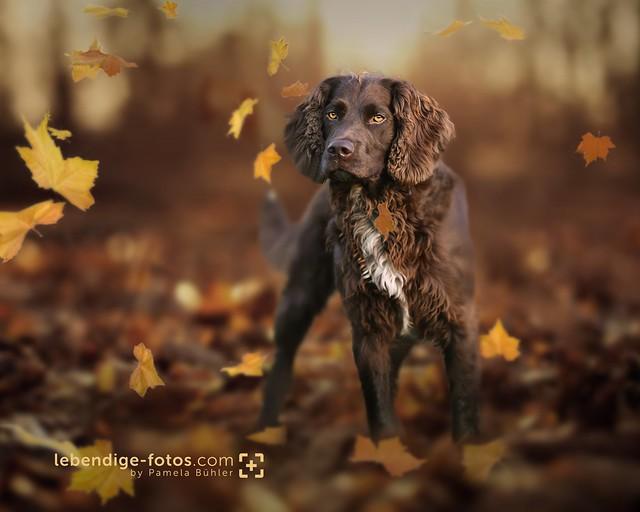 Falko, Wachtelhund, Nikon D5, AF-S Nikkor 200mm f/2G ED VR II