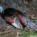 Osellated Turkey
