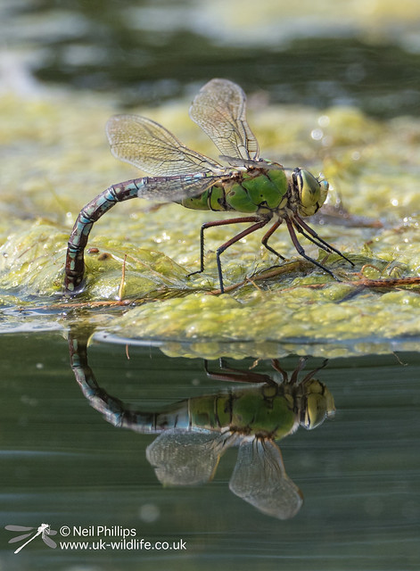 Egg laying female emperor dragonfly