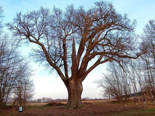 Zomereik / Pedunculate oak ('Duizendjarige Eik'), Lummen (Belgium)