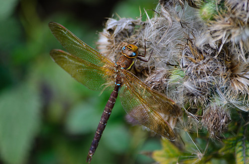 Male brown hawker dragonfly at rest