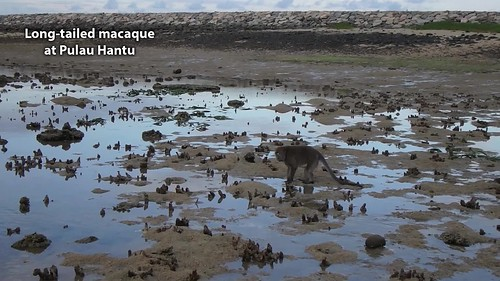 Long-tail macaque (Macaca fascicularis) foraging on Pulau Hantu shore