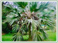 Latania loddigesii (Blue Latan Palm, Latan Palm, Blue Latania Palm), a solitary palm that can reach 10 m tall, 10 Aug 2017