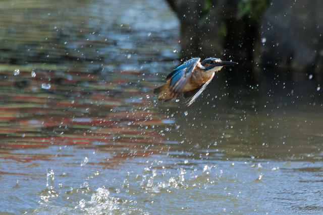 20170903-Kingfisher-DSC_1713