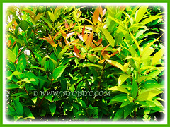 Syzygium myrtifolium (Red Lip, Australian Brush Cherry, Kelat Paya/Oil in Malay) with captivating leaves in varying colours, 1 Aug 2017