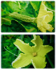 Mesmerizing unisexual flowers of Momordica charantia (Bitter Gourd, Bitter Melon, Bitter Squash/Cucumber, Balsam Pear, Peria in Malay), 15 Sept 2017