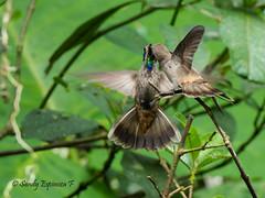 Hummingbirds fighting