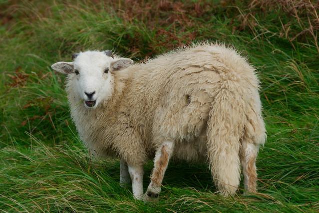 Sheep, Nant Gwrtheyrn