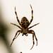 A Garden Orb spider in close up